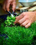 Chef striže mikro zelenjavo